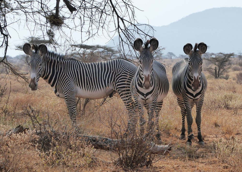 3 zebras.JPG