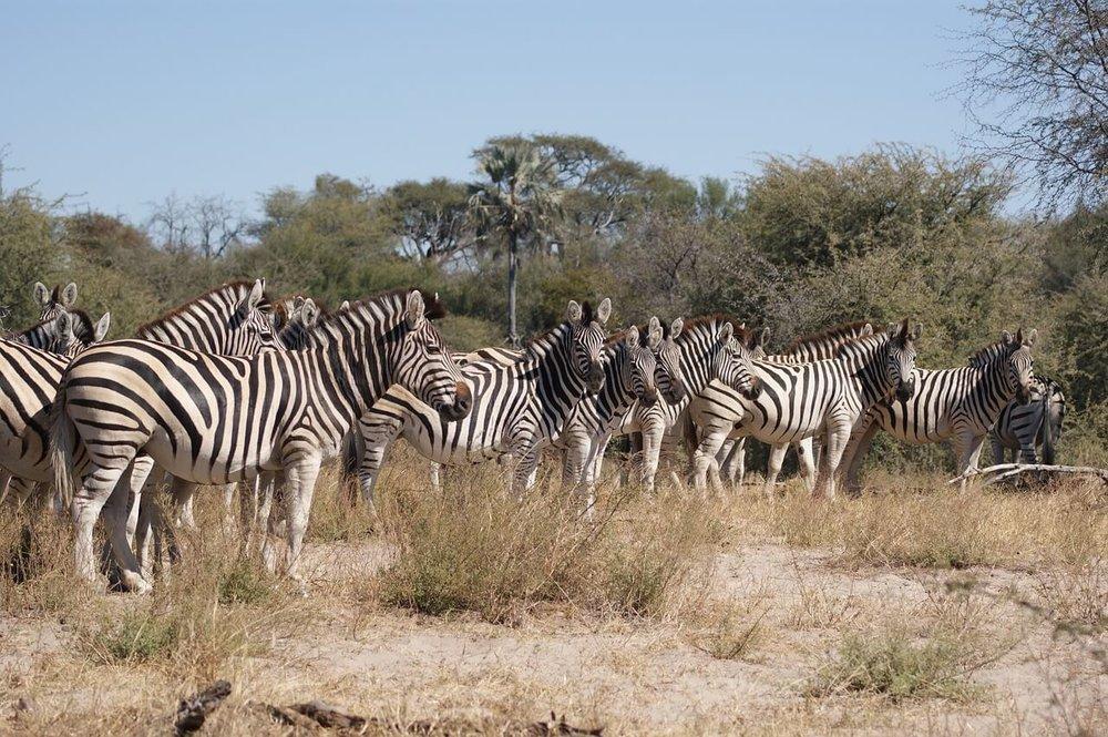 zebra-750959_1280.jpg