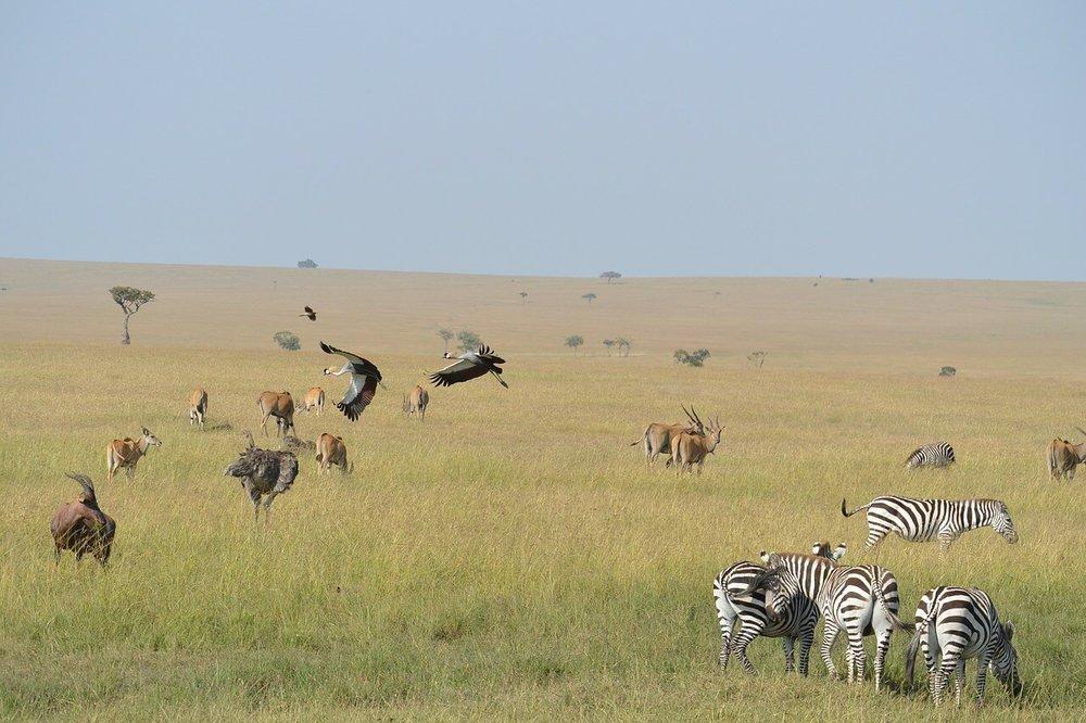 zebras-322092_1280.jpg