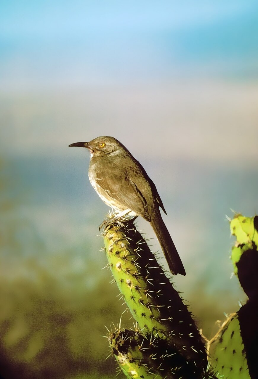 curve-billed-thrasher-2098214_1280.jpg