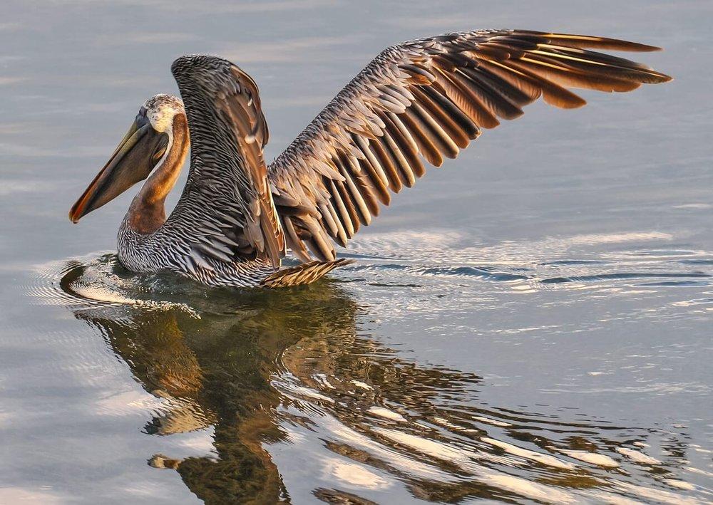 pelican-901006_1280.jpg