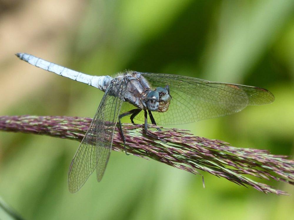 blue-dragonfly-1580209_1280.jpg