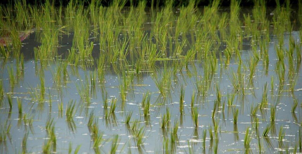rice-shoots-983761_1280.jpg