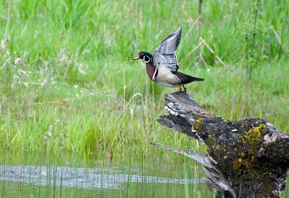 wood-duck-1740735_1280.jpg