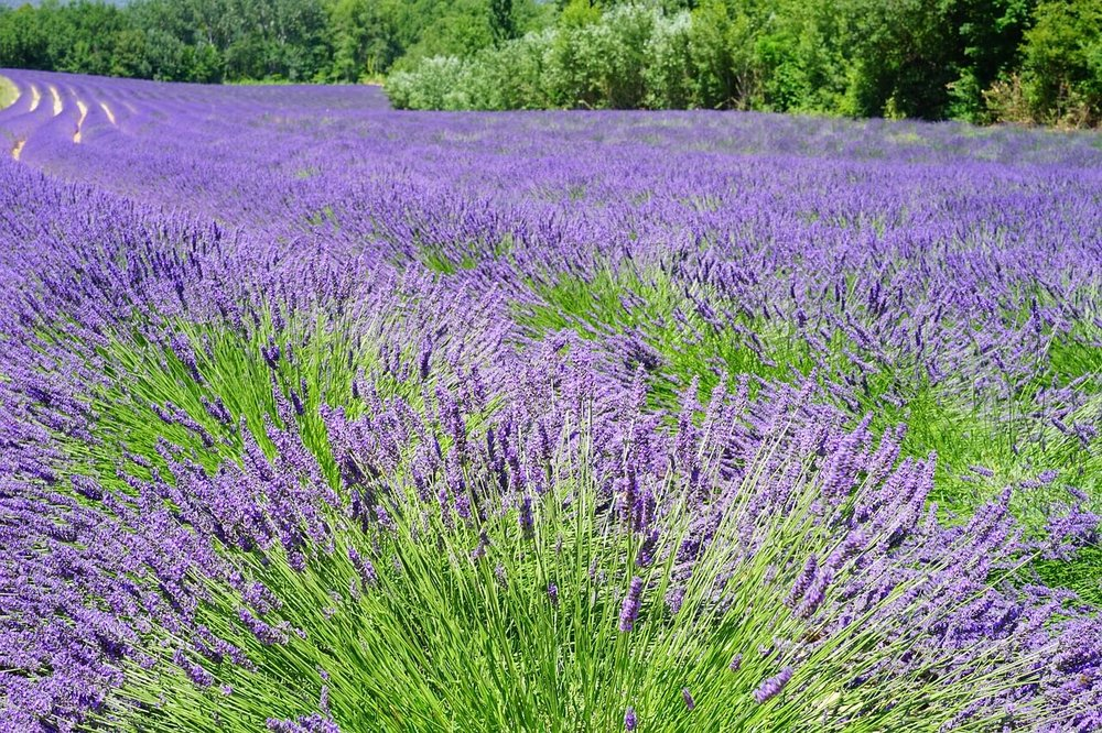 lavender-field-1595598_1280.jpg