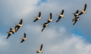 Grey Geese in Flight