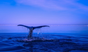 Whale at Dusk