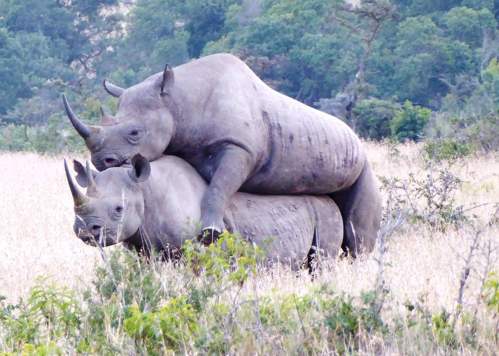 Rhino mating.jpeg