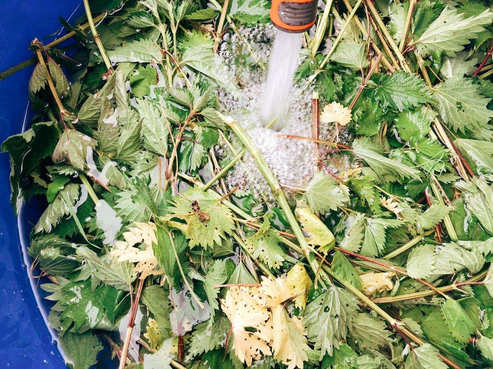 "Preparing the ""nettle manure"""