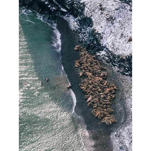 A huddle of walruses #arctic #polar