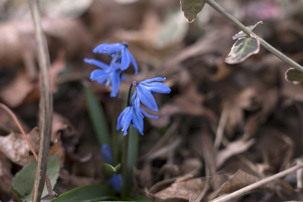 bluebells spring flowers