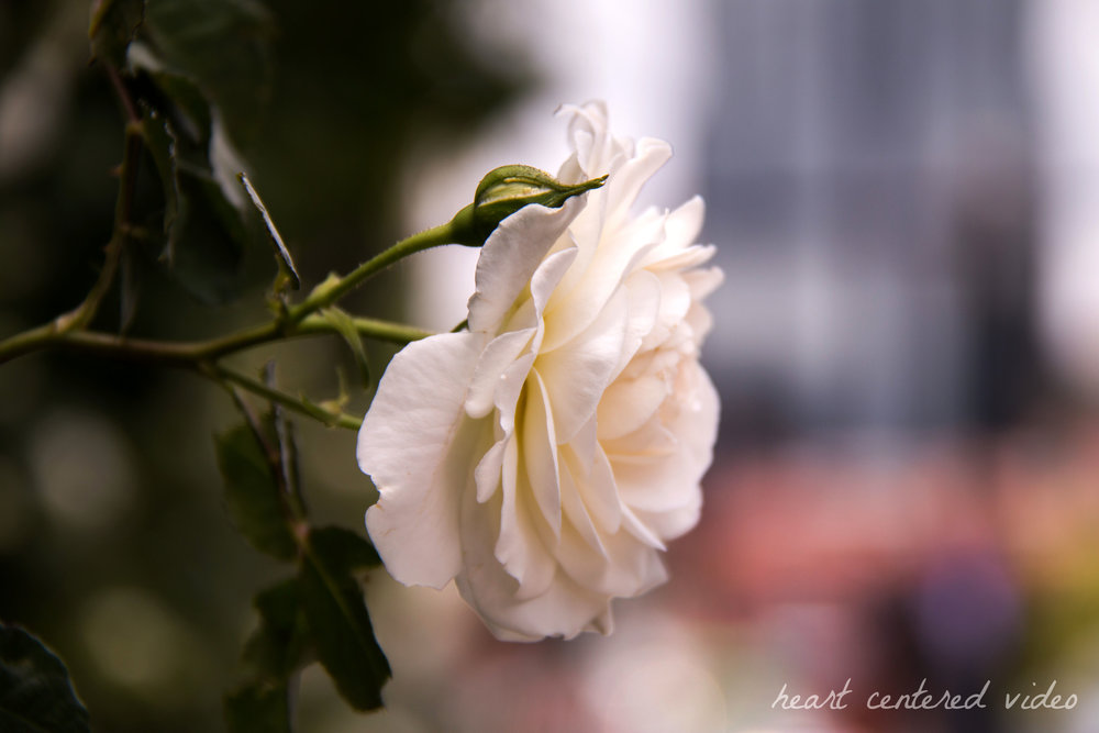 white rose in tennessee