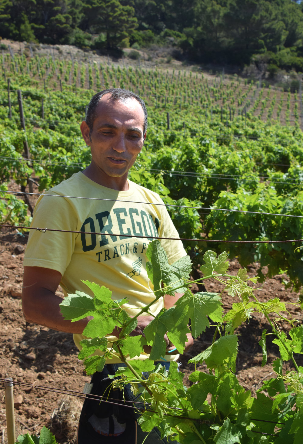 To protect the grapes from sunlight, Khatoui Chargui is using his learned skills in canopy management to re-trellis the vines.