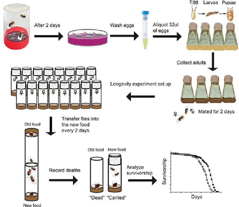 Simplified-schematic-of-a-Drosophila-lifespan-assay.png