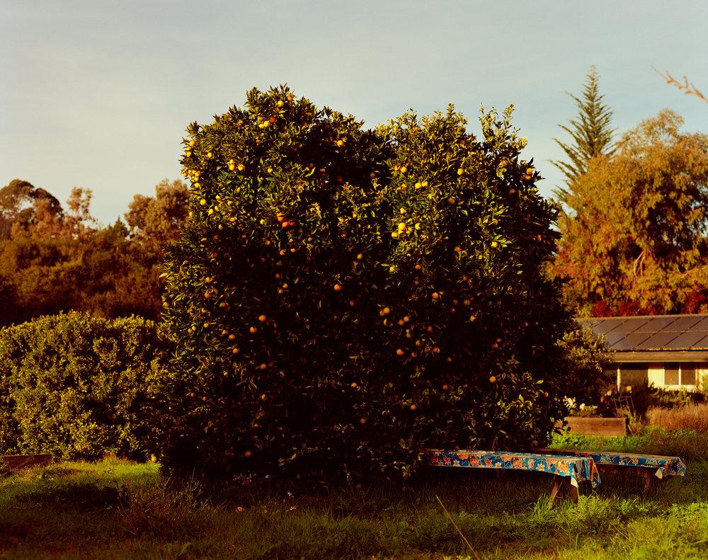 Sam_Wright_Lemon_Tree_California.jpg