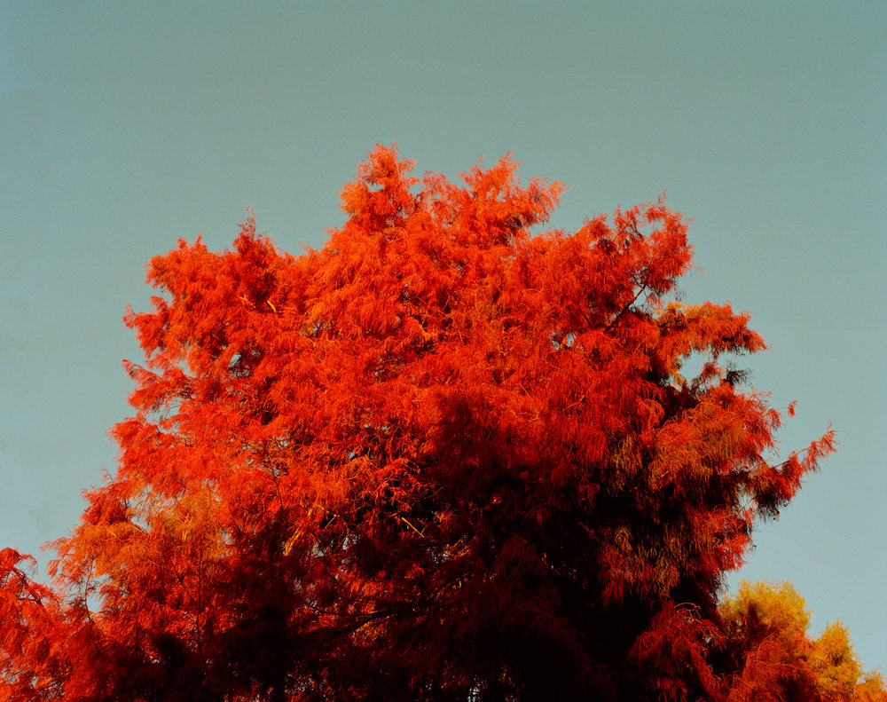Sam_Wright_Red_Tree_Autum_California.jpg