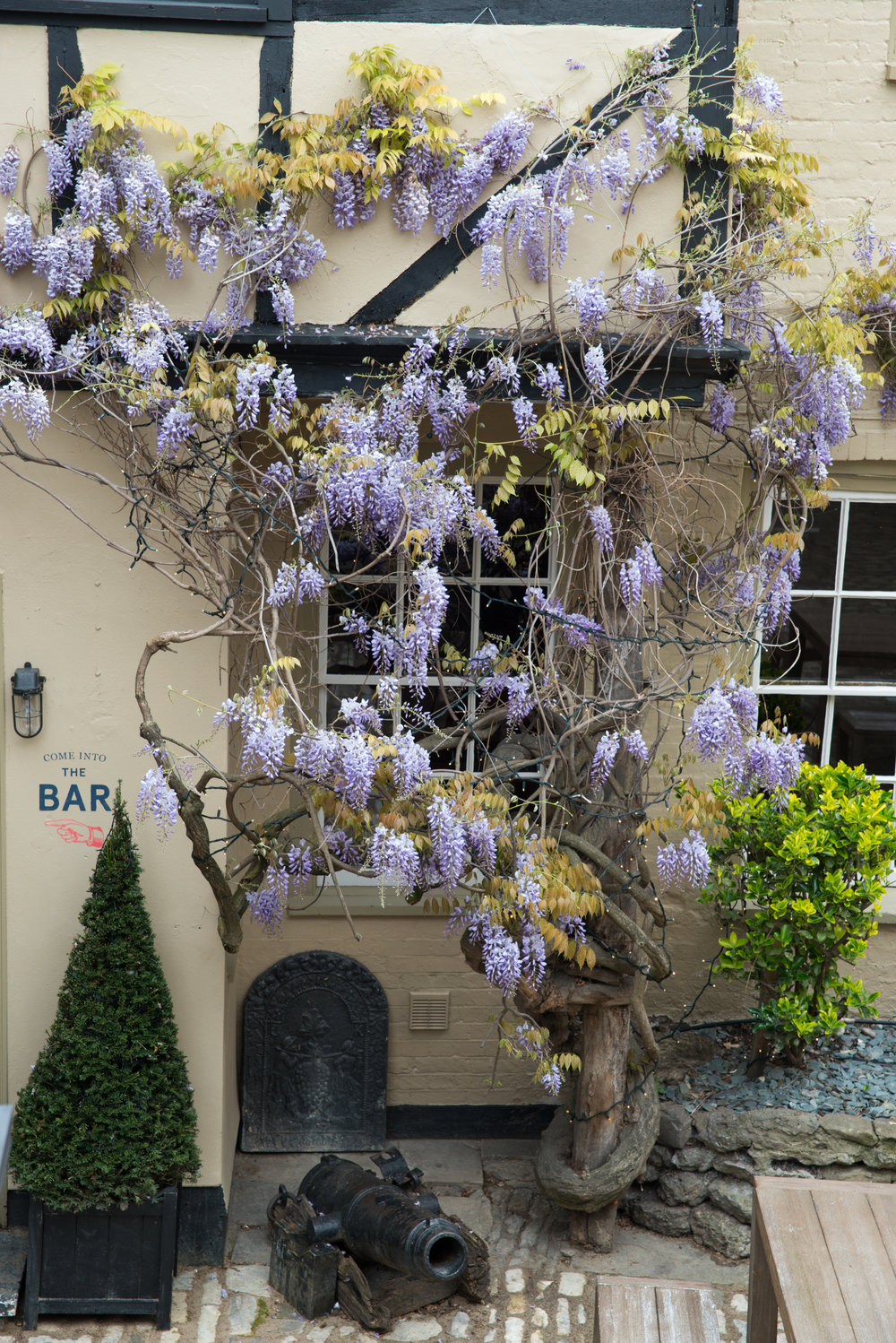 Wisteria in the courtyard at The Crown & Thistle in Abingdon