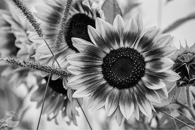 🌻 #sunflowers #hudsonvalley #hudsonvalleyphotographer #60mm #macro #macrophotography #canon #peakdesign