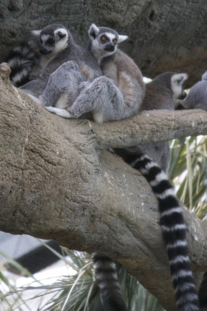 lemurs-682x1024.jpg