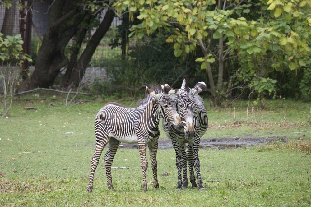 zebras-1024x682.jpg