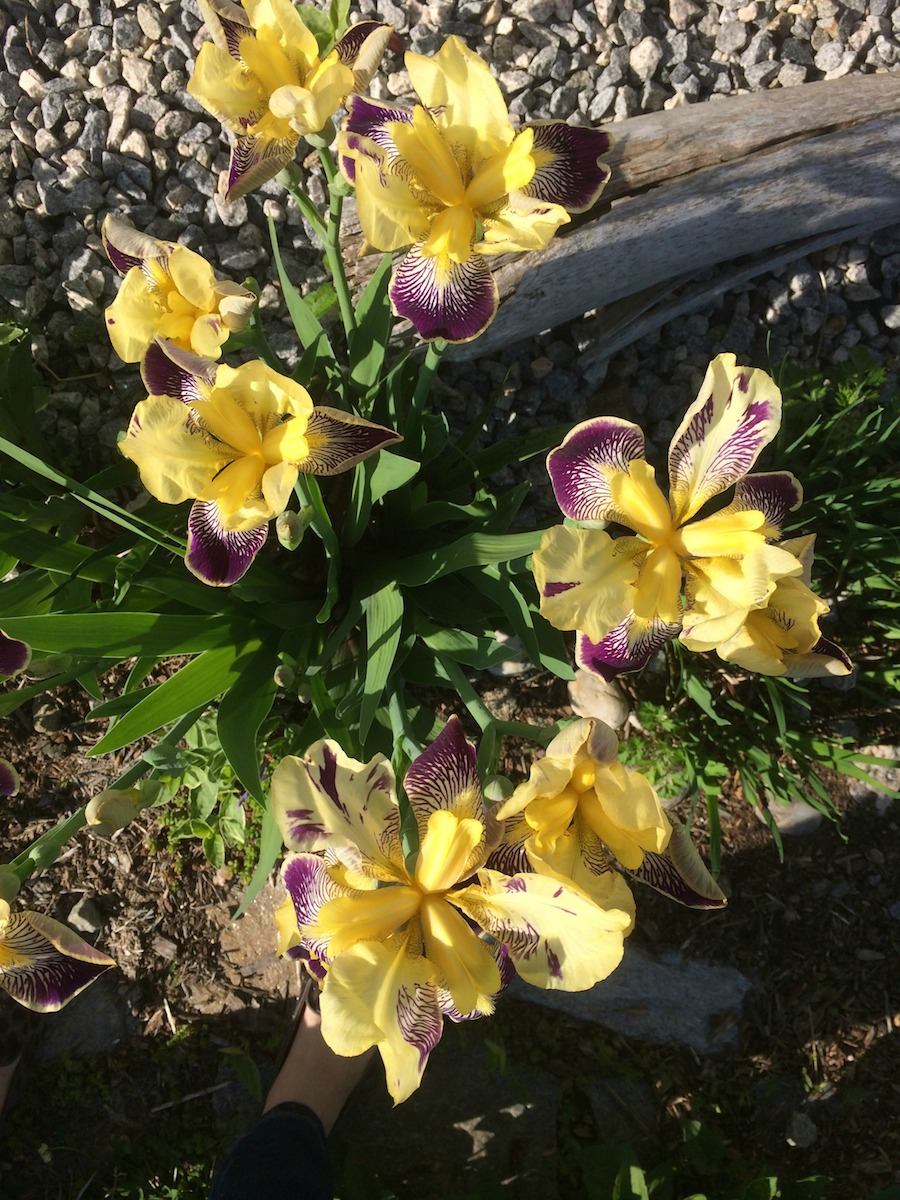 yellow-and-purple-irises.jpg