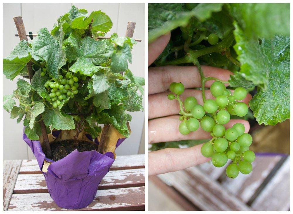 mini-grapes.jpg