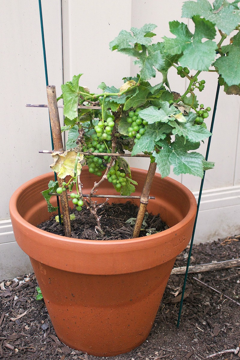 grape-plant.jpg