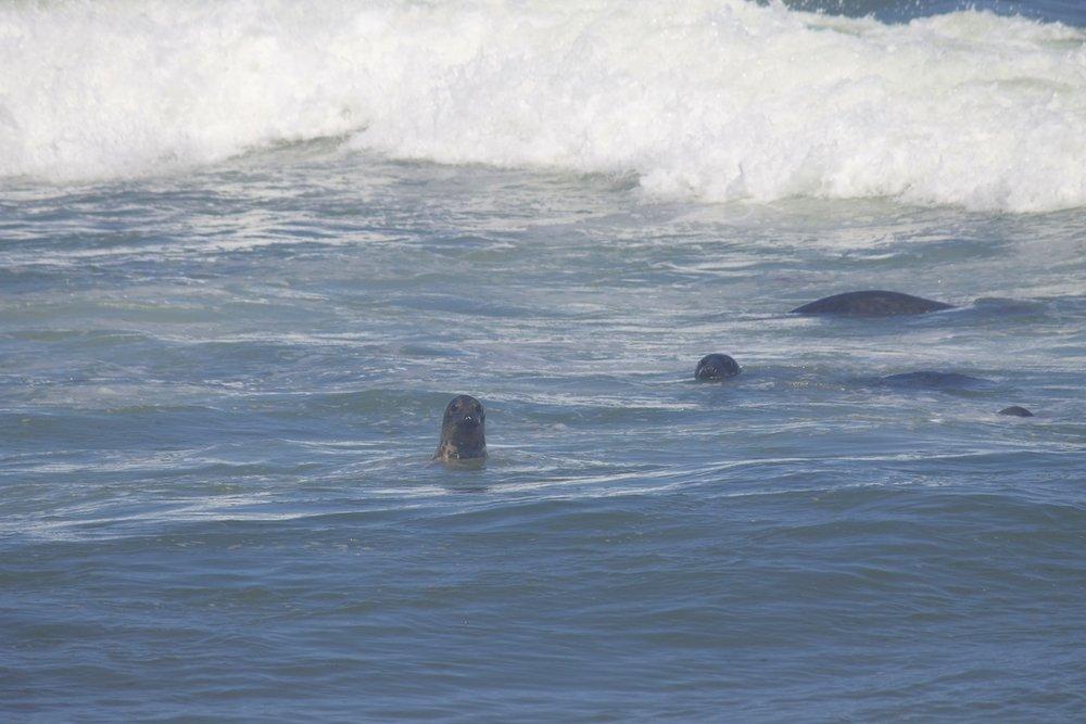 Seals-in-cape-cod.jpg