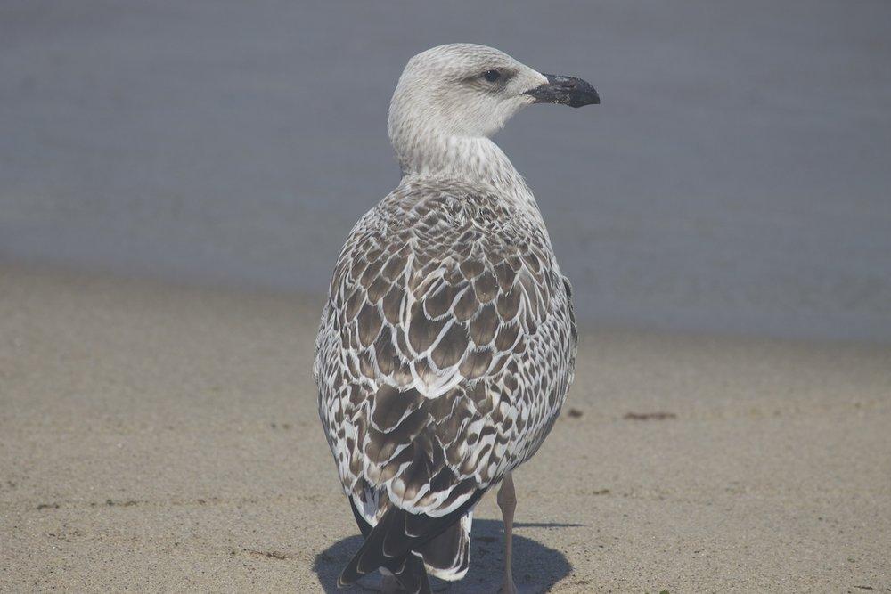 baby-seagull.jpg