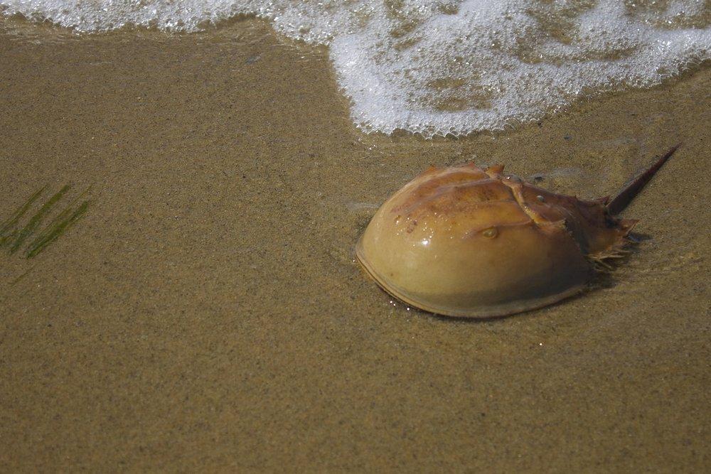 horseshoe-crab.jpg