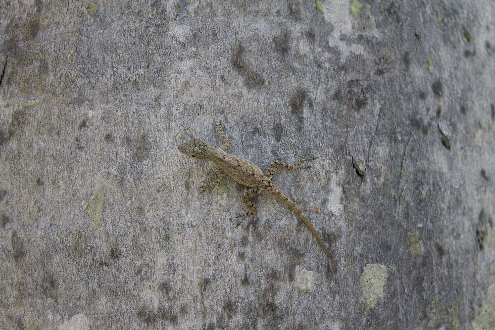camouflage-lizard.jpg