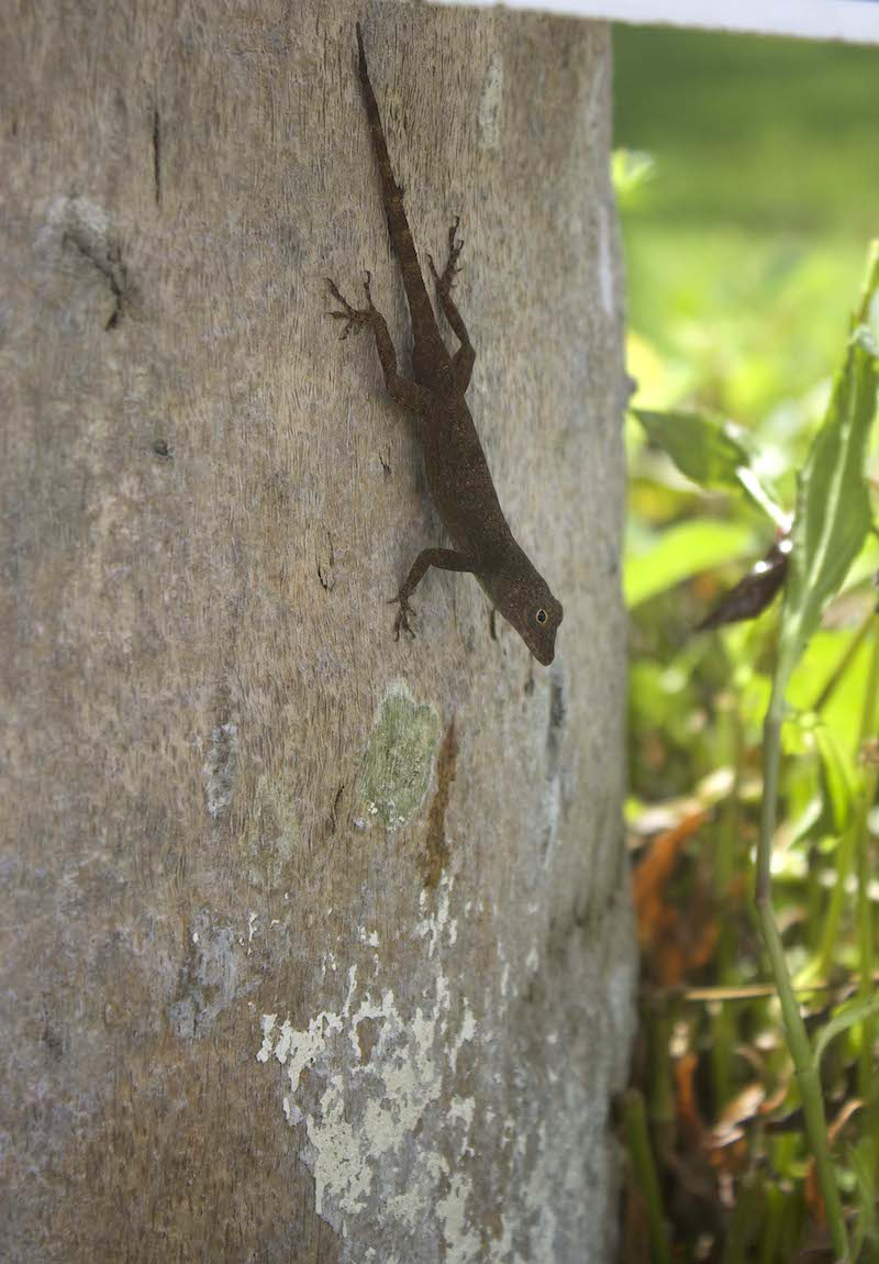 lizard-in-Punta-Cana.jpg