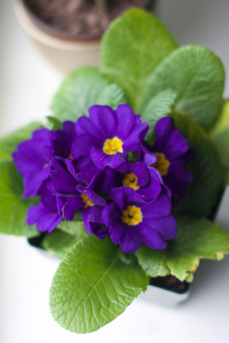 african-violet2.jpg