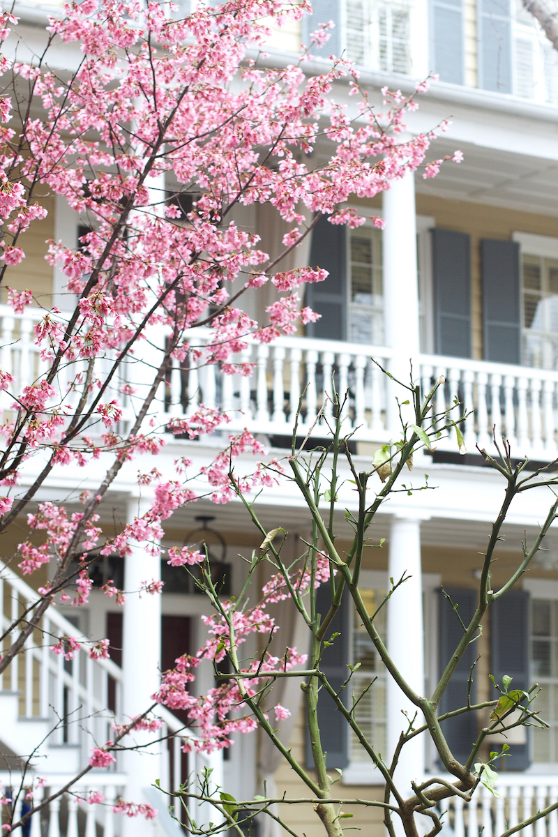 cherry-blossoms-in-Charleston.jpg
