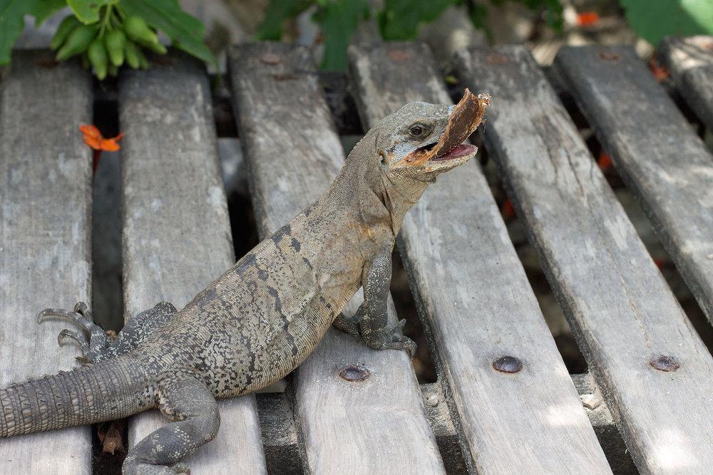 Iguana-in-Mexico.jpg