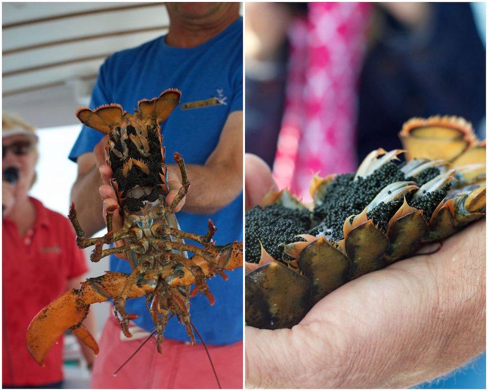 female-lobster-with-lobster-eggs.jpg