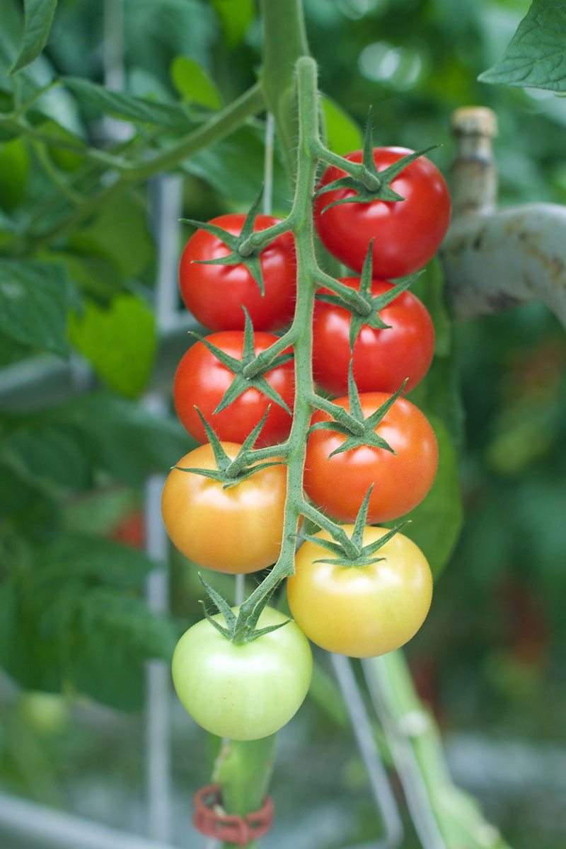 ombre-tomatoes.jpg