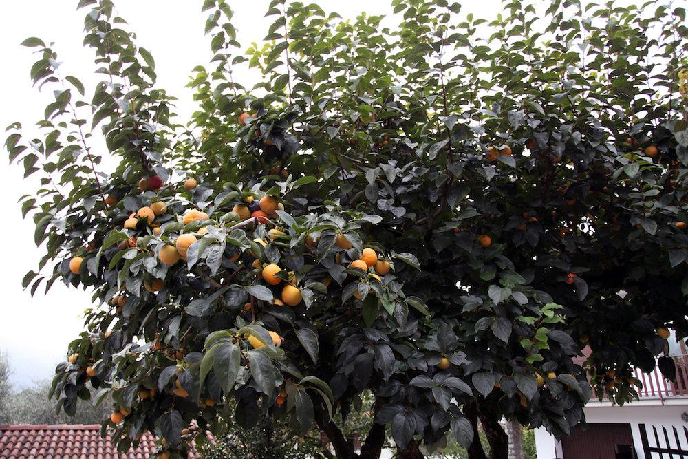 persimmon-trees.jpg