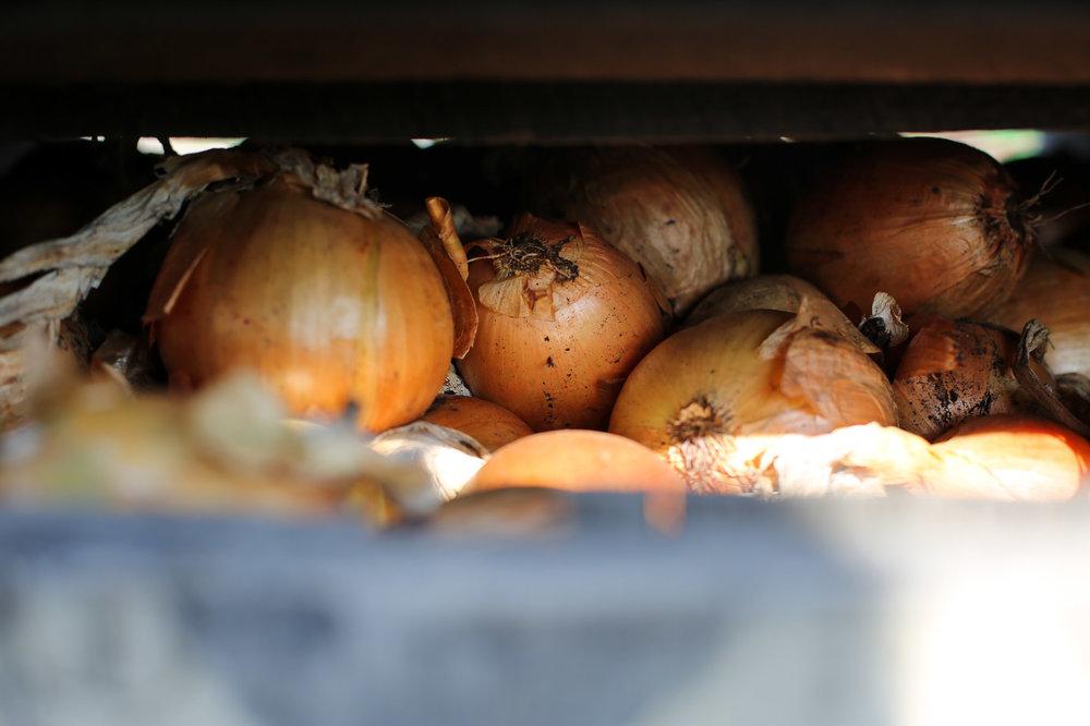 Minkus-Family-Onion-Farm3.jpg