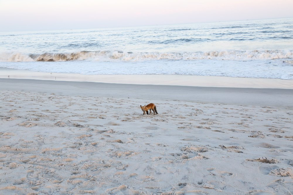 fox-at-the-beach1.jpg