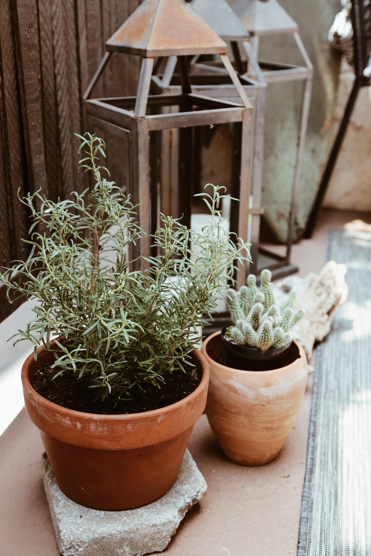 rosemary plant.jpg