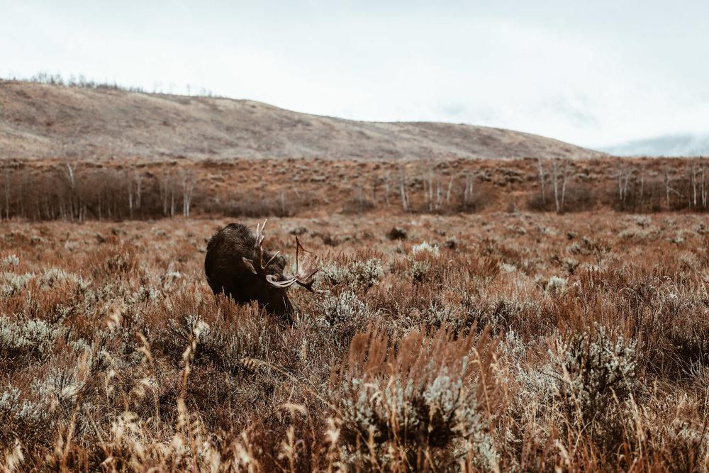 A moose spotted while on our Jackson Hole Wildlife Safari