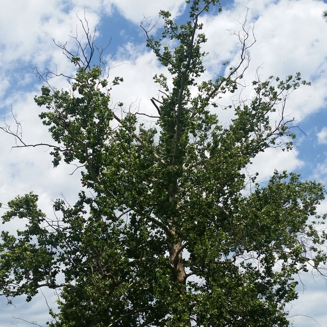 American Sycamore.jpg