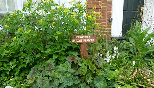 small-garden---Golden-alexandra-blooming.png