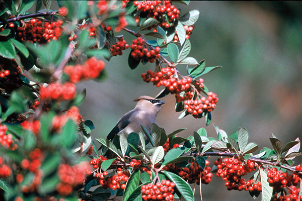 Cedar Waxwing on Holly (Ilex opaca)- courtesy of FWS, Lee Karney