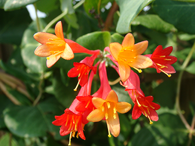 Native Coral Honeysuckle,  Lonicera sempervirens.   Photo by Dot Field.