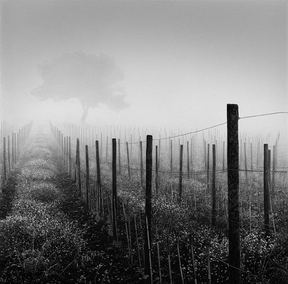 Vineyard at Dawn