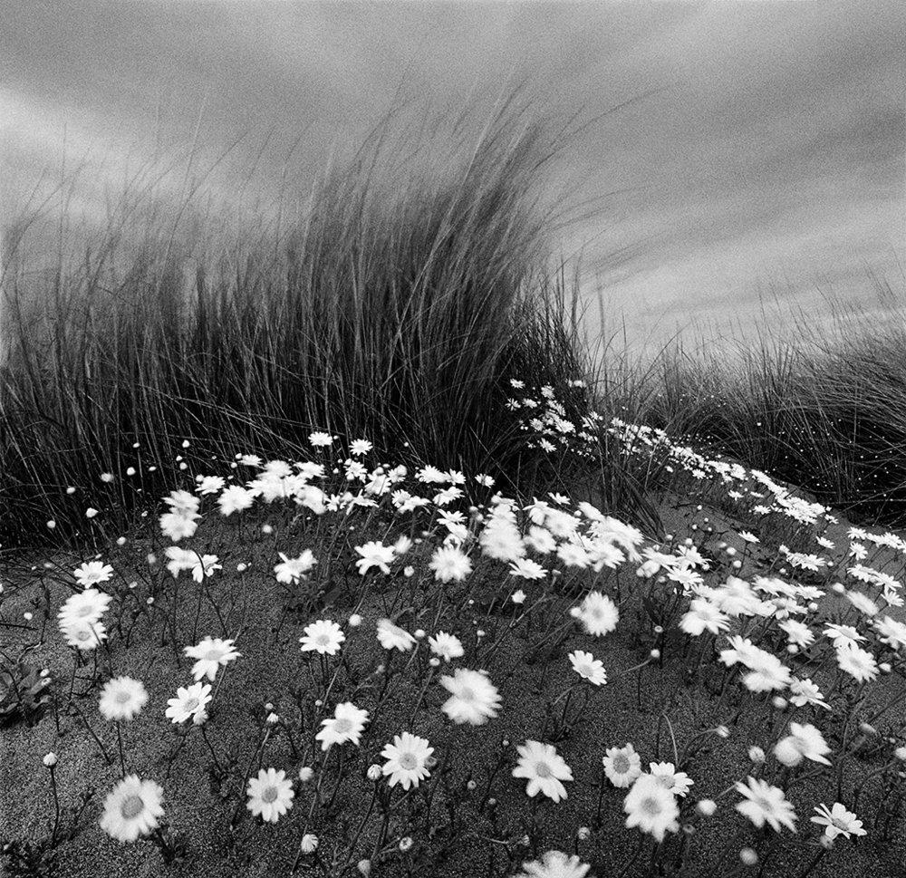Sand Daisies