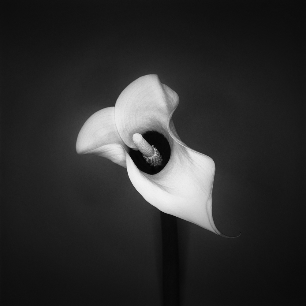 Root.Cala Lily.1