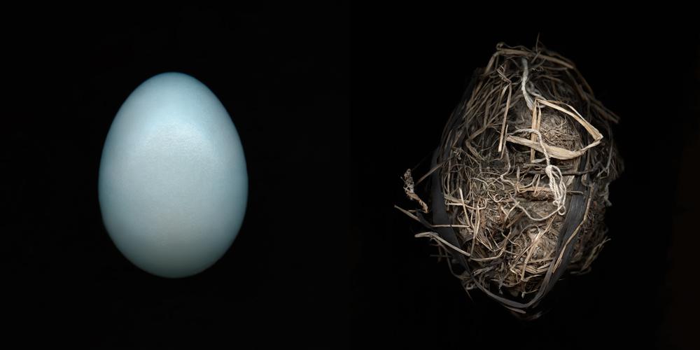 American Robin Egg.Vll-Nest.ll